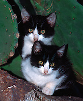 Katzen sirzen in Opuntie (Feigenkaktus), Mallorca, Spanien