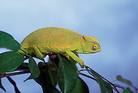 SENEGAL CHAMELEON. Male..Sudan through Tanzania to Senegal..(Chamaeleo senegalensis).