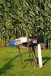 Rural mailboxes and corn stalks.