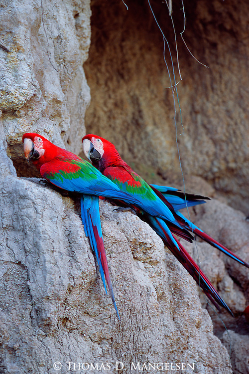 In the heart of Manu National Park in Peru, a pair of red and green macaws perch together, waiting for the time when other members of their flock will descend to ingest clay at one of the special licks on the river.
