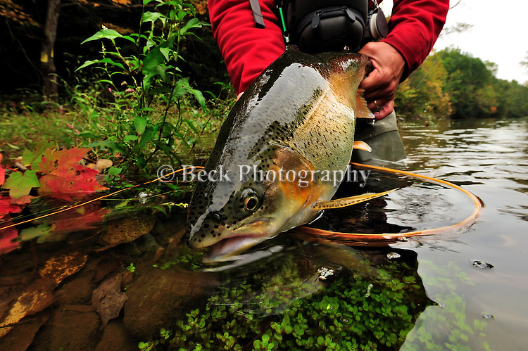 Fall fly fishing  08, rainbow trout release