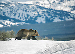 A grizzly bear walks in Yellowstone National Park.