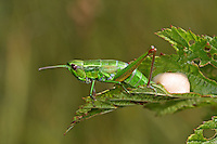 Kleine Goldschrecke, Euthystira brachyptera, Chrysochraon brachyptera, Small Gold Grasshopper, female