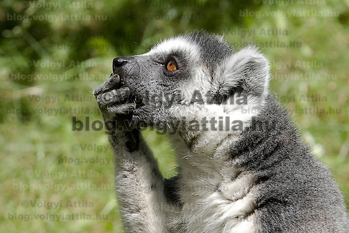 Ringtail lemur (Lemur catta) eats its meal in the Budapest Zoo.
