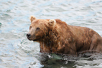 A brown bear waits for fish to appear the McNeil River Falls,  in Alaska's McNeil River State Game Sanctuary.