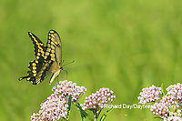 03017-01411 Giant Swallowtail (Papilio cresphontes) on Swamp Milkweed (Asclepias incarnata) Marion Co. IL