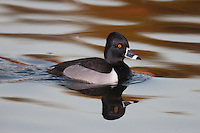 Ring-necked Duck (Aythya collaris) - Male while swimming on a lake