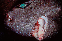 kitefin shark, seal shark, black shark, Dalatias licha, a deepwater shark species