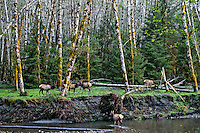 Roosevlet Elk herd among alder trees along Rain Rorest river bottom, Olympic National Park, spring.