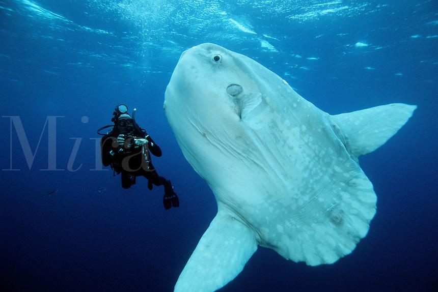 Ocean sunfish, Mola mola, are found in the open ocean, California, Eastern Pacific Ocean