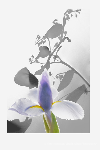 An experiment, using two images, one of a bush behind my diffuser - giving shadows on the diffuser.  The second image is of an iris, taken during the winter.<br /> <br /> The experiment was to see if the combination worked, given the two different directions of the light.