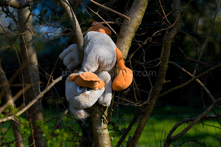 Toy duck hanging upside down in a tree beside the river Slaney, Wexford. Discarded and washed up, he's now ended up hanging from this tree...