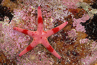 Blutstern, Blut-Seestern, Blutseestern, Seestern, Henricia spec., Slender sea star, Northern Henricia, Blood star, Blood starfish, sea star, star fish, sea-star, star-fish, Seesterne, sea stars