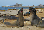 Northern elephant seal juveniles play at Ano Nuevo State Park