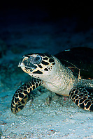 Hawksbill turtle, Eretmochelys imbricata, Raja Ampat, West Papua, Indonesia, Indo-Pacific Ocean