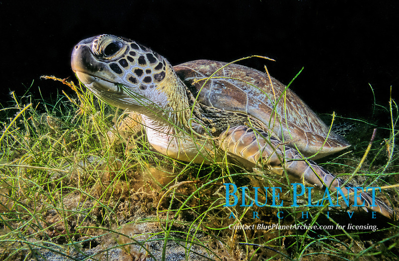 Green sea turtle feeding on marine plant, Chelonia mydas, Worldwide in tropical waters