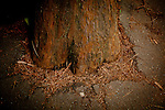 A redwood is surrounded by asphalt in Muir Woods National Monument, January 26, 2011.