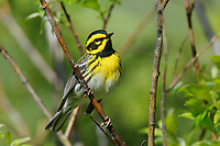 Adult male Townsend's Warbler (Dendroica townsendi) in breeding plumage. Pend Oreille County, Washington. May.
