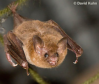 0715-1116  Seba's Short-tailed Bat, Roosting in Building in Belize, Carollia perspicillata  © David Kuhn/Dwight Kuhn Photography