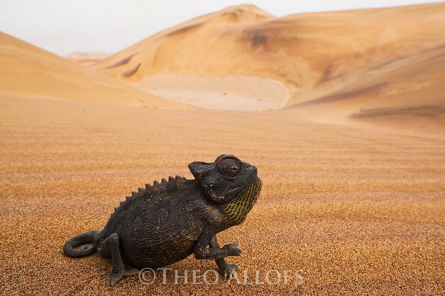 Namibia;  Namib Desert, Skeleton Coast, Namaqua chameleon (Chamaeleo namaquensis) on sand dune