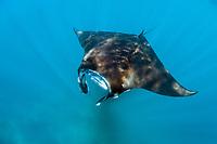 reef manta ray, Manta alfredi, feeding, Komodo National Park, Lesser Sunda Islands, Indonesia, Pacific Ocean