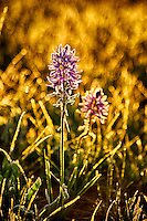 An early June frost creates a lively glow as the morning sun illuminates wildflowers blossoms in Island Park, Idaho.