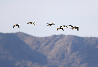 Feb 27, 2016; Chandler, AZ, USA; A flock of canadian geese fly over Wild Horse Pass Motorsports Park during NHRA qualifying for the Carquest Nationals. Mandatory Credit: Mark J. Rebilas-