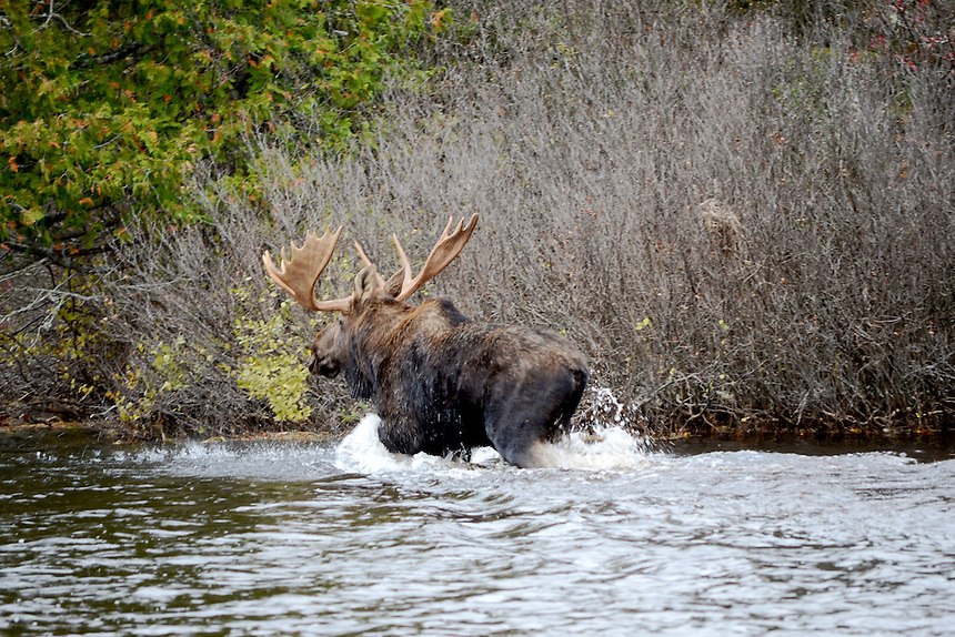 A large bull moose walking along the edge of a lake in Michigan's Upper Peninsula. Baraga County