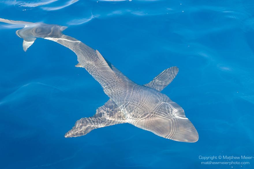 The Aquarium dive site, Socorro Island, Revillagigedos Islands, Mexico; resident Silky Shark (Carcarhinus falciformis) named Pancha circles the boat , Copyright © Matthew Meier, matthewmeierphoto.com All Rights Reserved