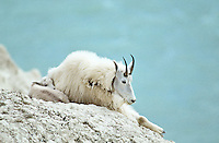 Mountain Goat with young, Canada