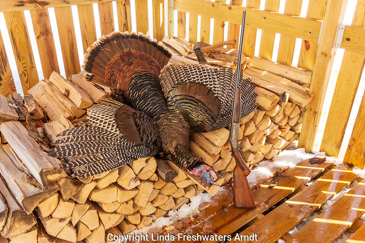 Harvested spring turkey and an Iver Johnson shotgun in a wood shed.