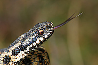 Adder Vipera berus Length 45-60cm Venomous snake. Hibernates October-March and sunbathes regularly in spring. Males perform wrestling 'dances' to determine access to females for mating. Sexes are similar but females are larger than males. Adult ground colour ranges from reddish brown, greenish yellow or grey to creamy buff.  Almost all have a blackish zigzag line along back, anterior end of which looks arrowheaded and framed by inverted 'V' marking on head. Melanic 'Black Adders' also occur; commonest in N. Juvenile is similar but slender and usually reddish brown. Widespread but local, found on heaths, moors, open woodlands, rough grassland and coastal dunes. Easiest to see in early spring when basking.
