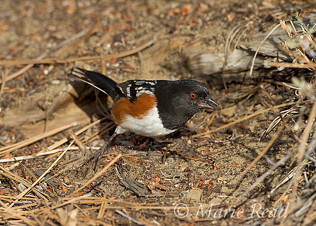 Spotted Towhee (Pipilo maculatus) male double-scratching on the ground (note both feet are off the ground at the same time), to uncover potential food items, Mono Lake Basin, California, USA