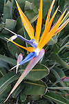 Catalina Island, Channel Islands, California; detail view of a bird of paradise flower