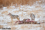 Coyote pair feeding on carcass during winter. Yellowstone National Park, Montana.