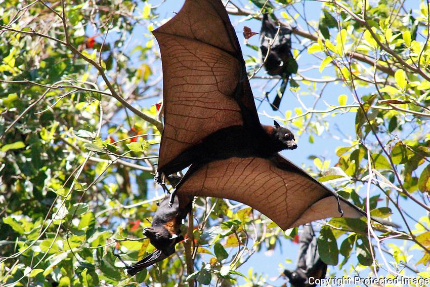 Flying Fox, East Alligator River, Kakadu National Park, Northern Territory