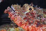Scorpionfish,Underwater macro marine life images;  Photographed in Tulamben; Liberty Resort; Indonesia.Underwater Macro Photographer on FB 2nd Annual event