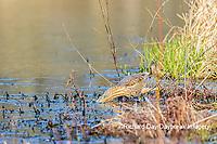 00685-00604 American Bittern (Botaurus lentiginosus) eating tadpole in wetland Marion Co. IL