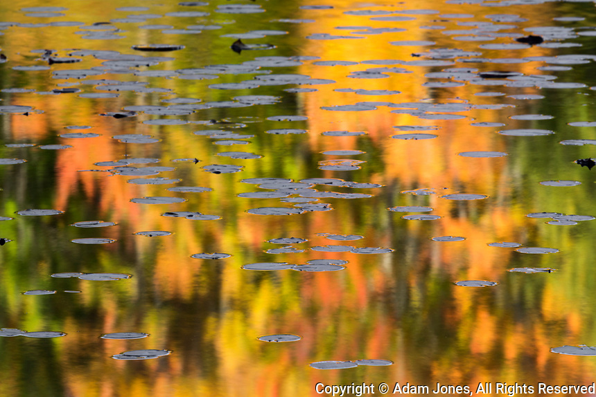 Autumn colors and lily pads reflecting on Thornton Lake at sunrise, Hiawatha National Forest, Upper Peninsula of Michigan