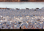 Snow Geese and Sandhill Cranes at Sunrise, Ladd Gordon Waterfowl Complex, New Mexico