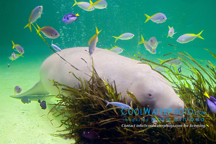 various reef fish and dugong, Dugong dugong, feeding on seagrass, Indo-Pacific Ocean