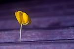 Pinto Peanut (Arachis pintoi) flower, Mamoni Valley, Panama