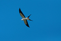 Swallow-tailed Kite (Elanoides forficatus), Corkscrew Swamp Sanctuary, Naples, Florida, US