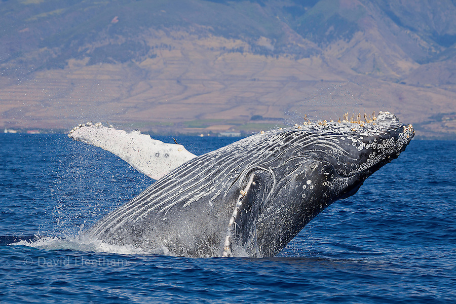 Breaching humpback whale, Megaptera novaeangliae, with the West Maui town of Lahaina in the background, Hawaii.