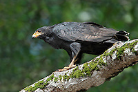 Common Black-Hawk - Buteogallus anthracinus - adult