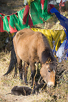 mare and foal in the prayer flags of Dochula Pass, Bhutn