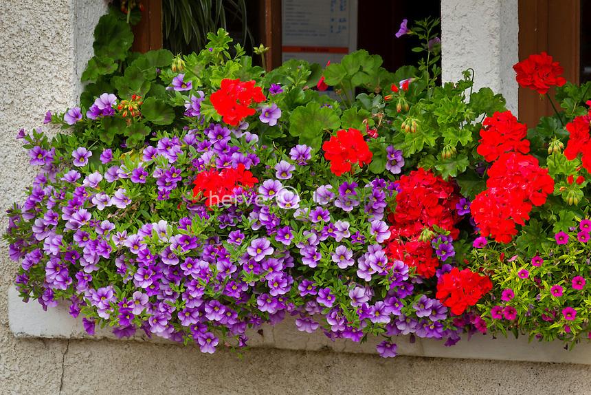 jardinière avec surfinias (Petunia surfinia) et pélargonium // Geraniums (Pelargonium) and petunias in window box