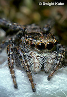 SI10-001z  Jumping Spider - Sitticus palustris