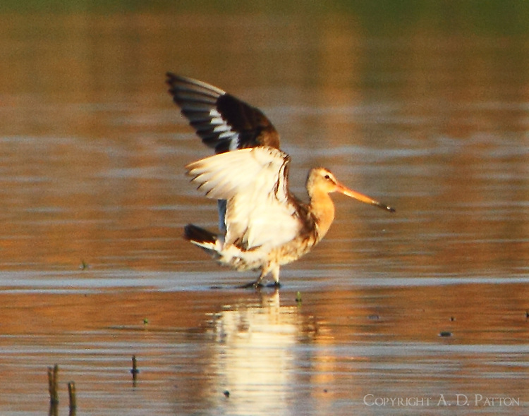 Black-tailed godwit after landing