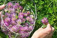 Wiesen-Klee, Ernte, Sammeln, Kräuterernte in einen Korb, Wiesenklee, Rot-Klee, Rotklee, Klee, Trifolium pratense, Red Clover, le trèfle violet, le trèfle des prés